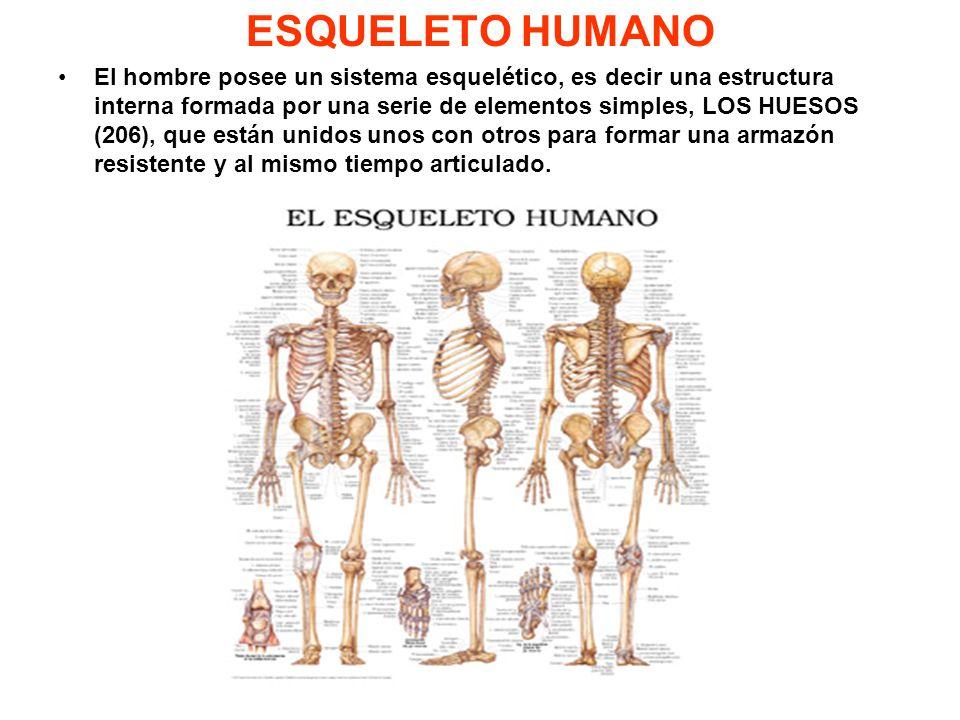 Lujo Sistema Esquelético 206 Huesos Colección de Imágenes - Anatomía ...