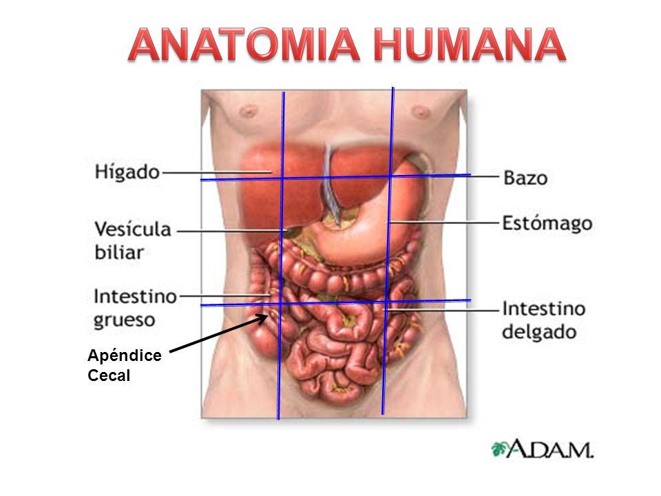 Único Hígado Humano Ubicación Colección de Imágenes - Anatomía de ...