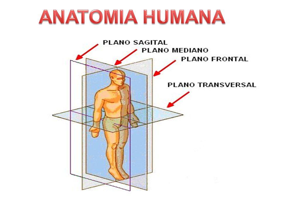 Excelente Anatomía Plano Frontal Embellecimiento - Anatomía de Las ...