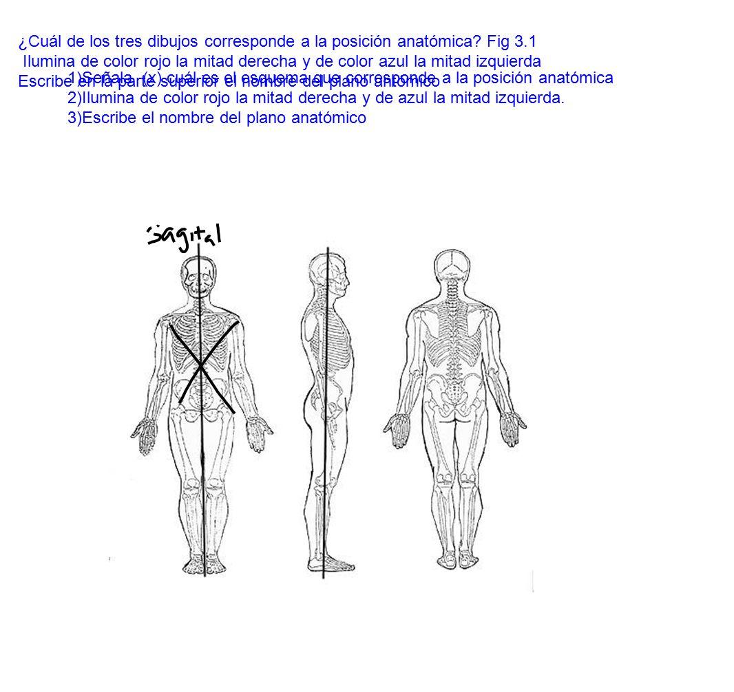 ¿Cuál de los tres dibujos corresponde a la posición anatómica Fig 3.1