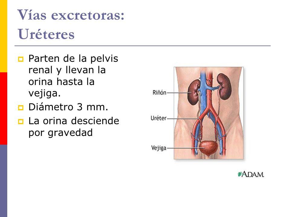 Vías excretoras: Uréteres