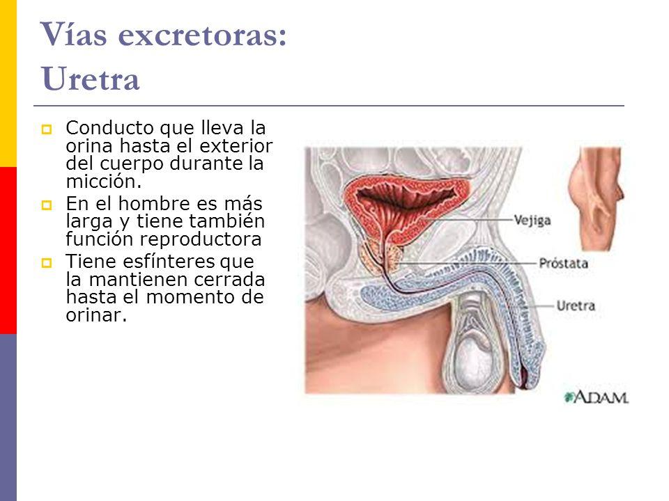 Vías excretoras: Uretra