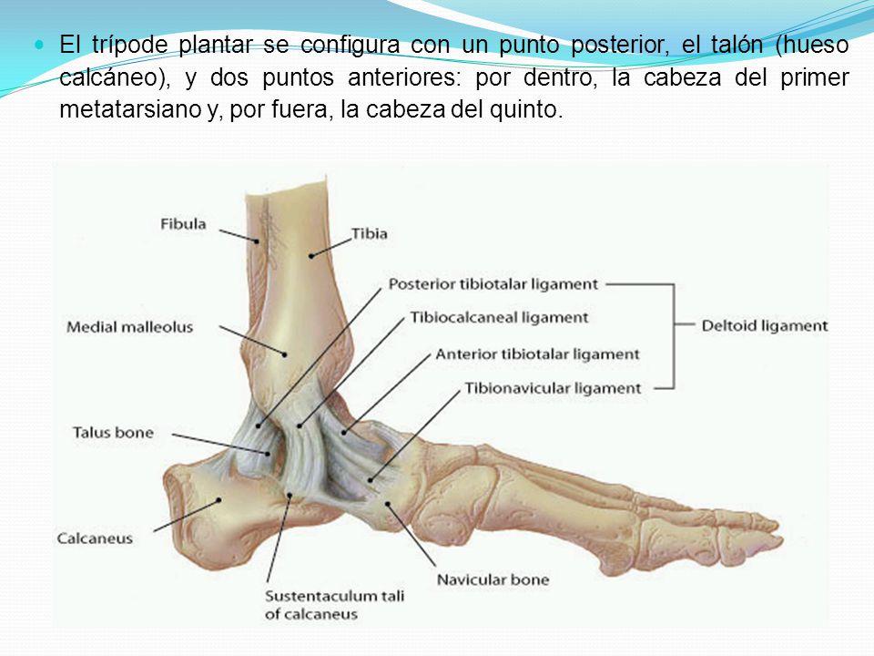 Único Anatomía Del Hueso Calcáneo Colección - Anatomía y Fisiología ...