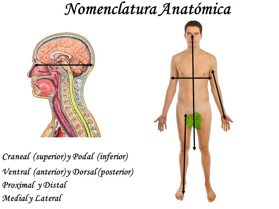Contemporáneo Anatomía De La Escuela Secundaria Friso - Imágenes de ...