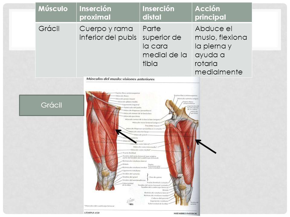 Famoso Músculo Del Muslo Anatomía Mri Ideas - Imágenes de Anatomía ...