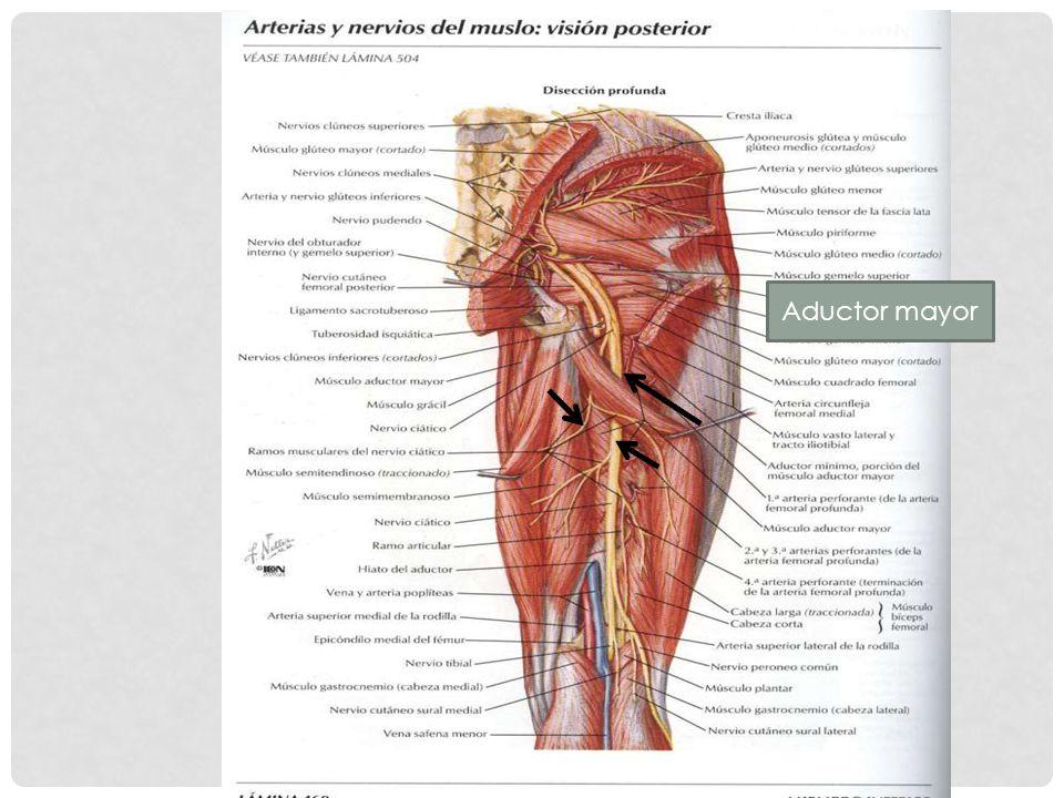 Único Posterior Músculos Del Muslo Composición - Imágenes de ...
