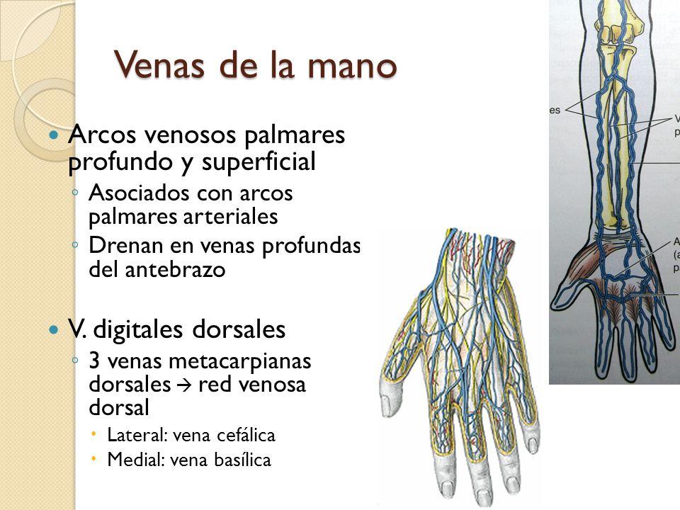 Famoso Venas De La Mano La Anatomía Cresta - Imágenes de Anatomía ...