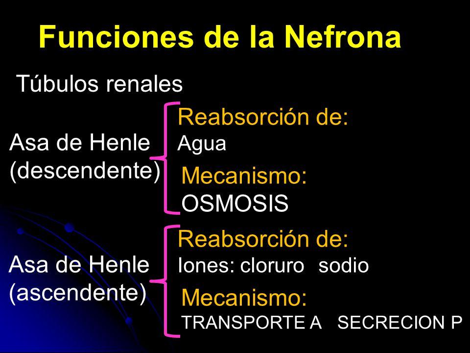 Funciones de la Nefrona