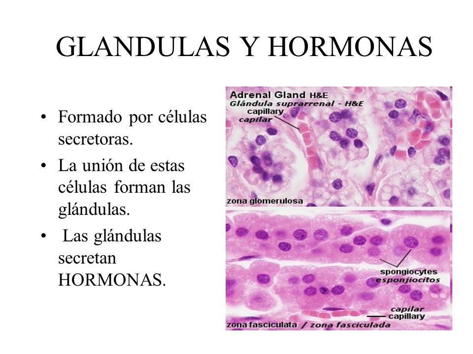 GLANDULAS Y HORMONAS Formado por células secretoras.