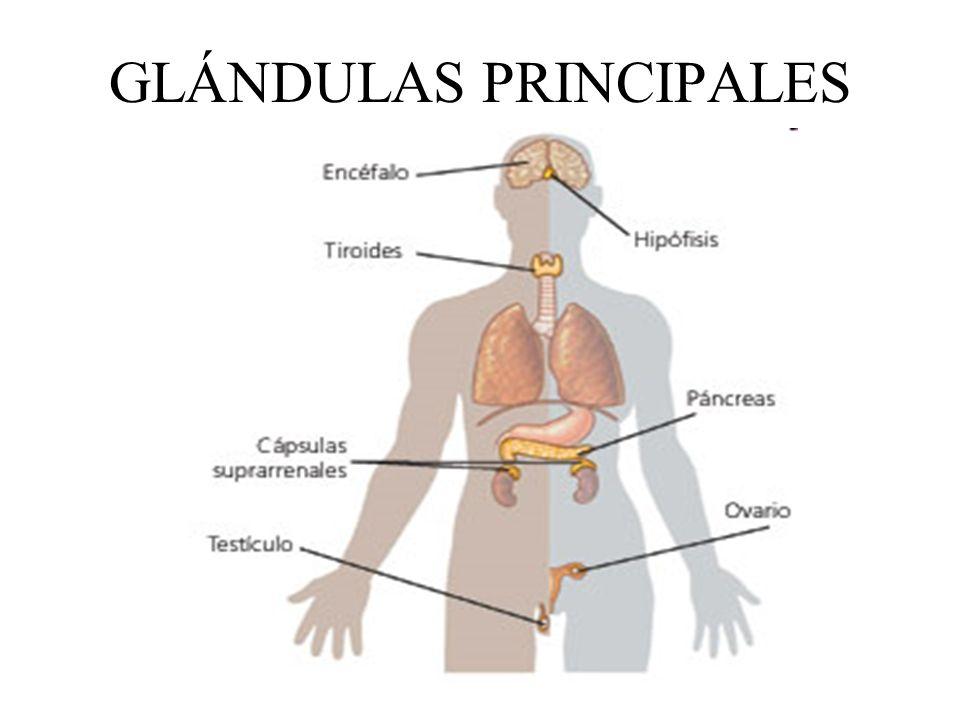 GLÁNDULAS PRINCIPALES