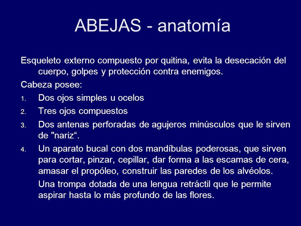 Lujo Anatomía De La Abeja De La Miel Foto - Imágenes de Anatomía ...