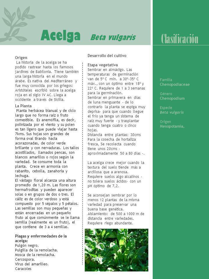 Acelga Beta vulgaris Clasificación Desarrollo del cultivo
