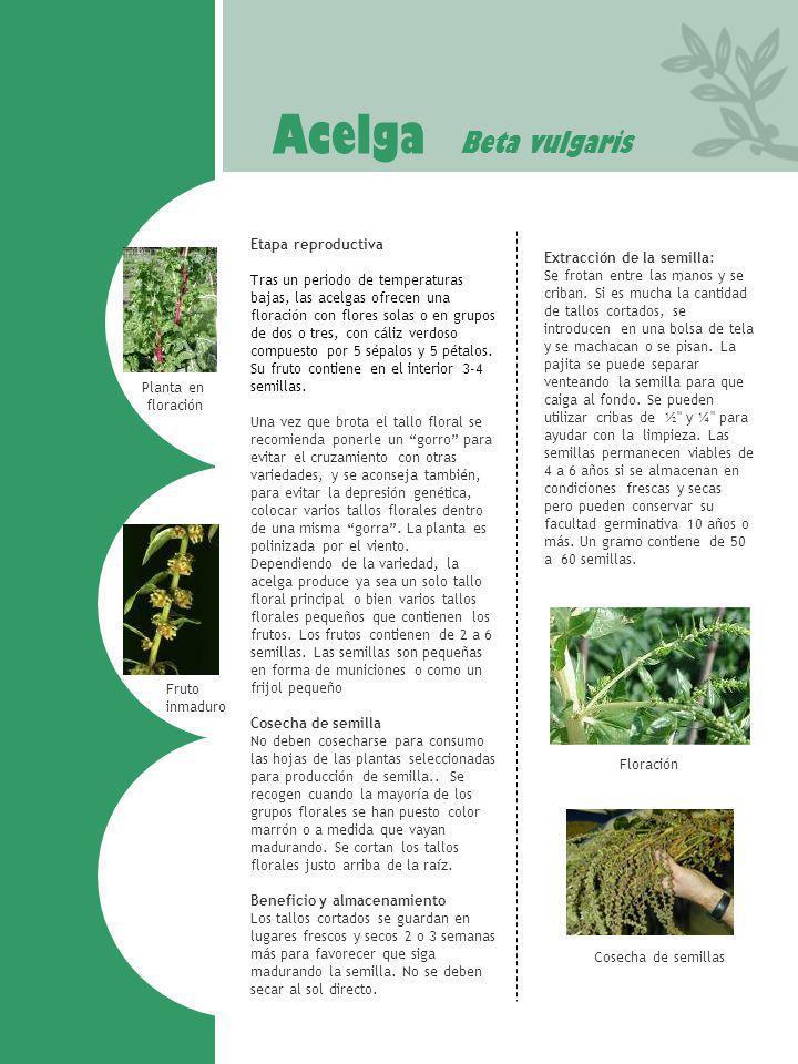 Acelga Beta vulgaris Etapa reproductiva Extracción de la semilla: