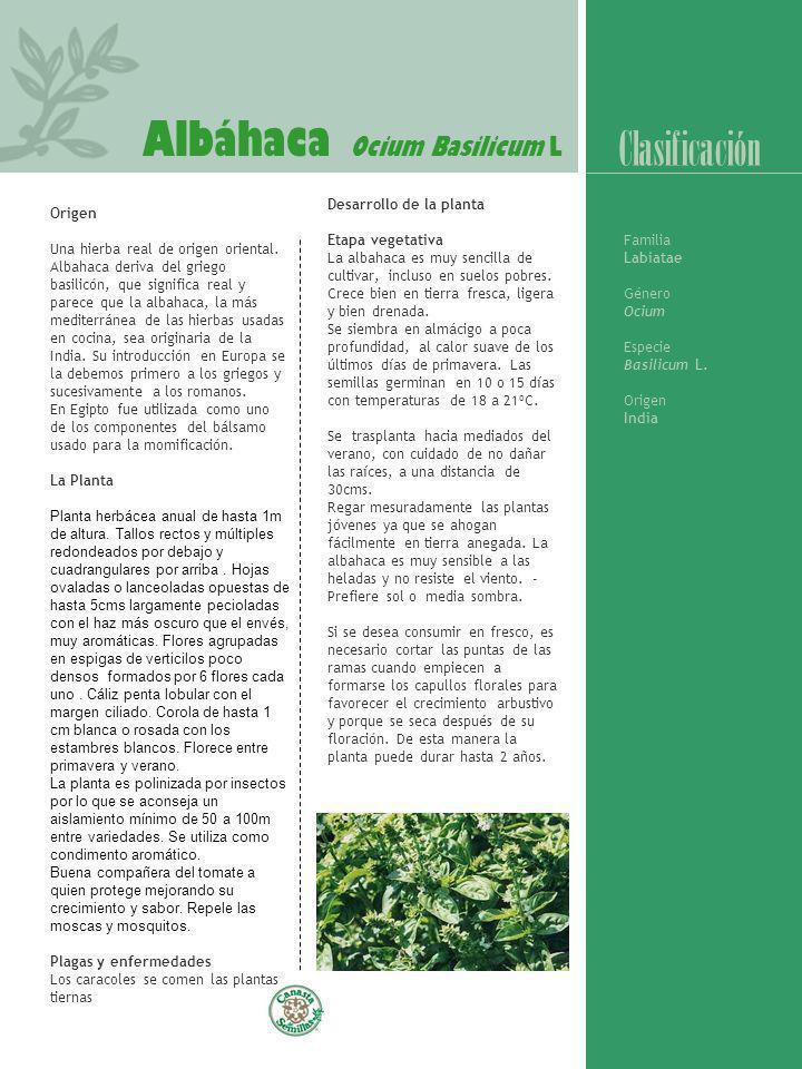 Albáhaca Ocium Basilicum L Clasificación