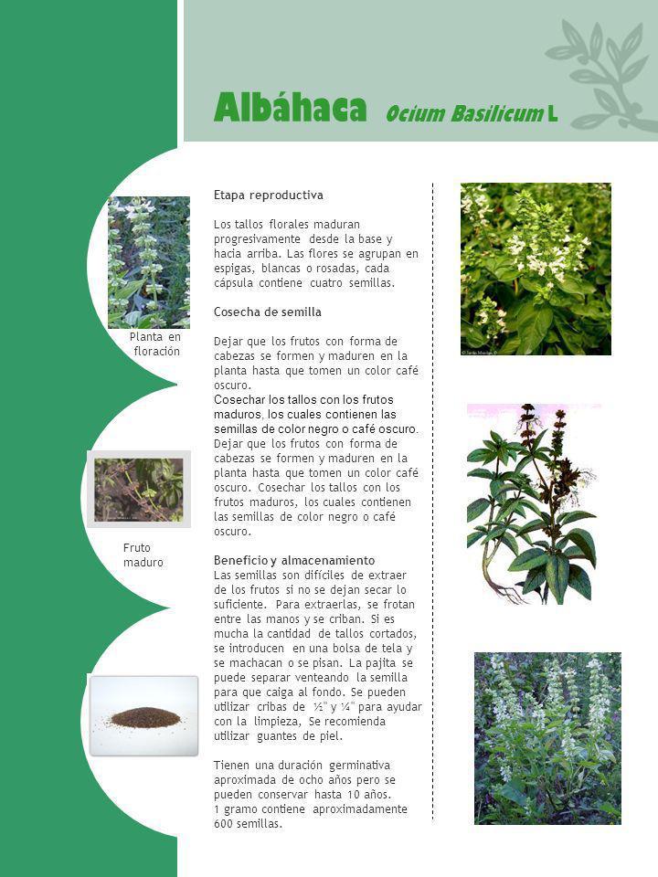 Albáhaca Ocium Basilicum L