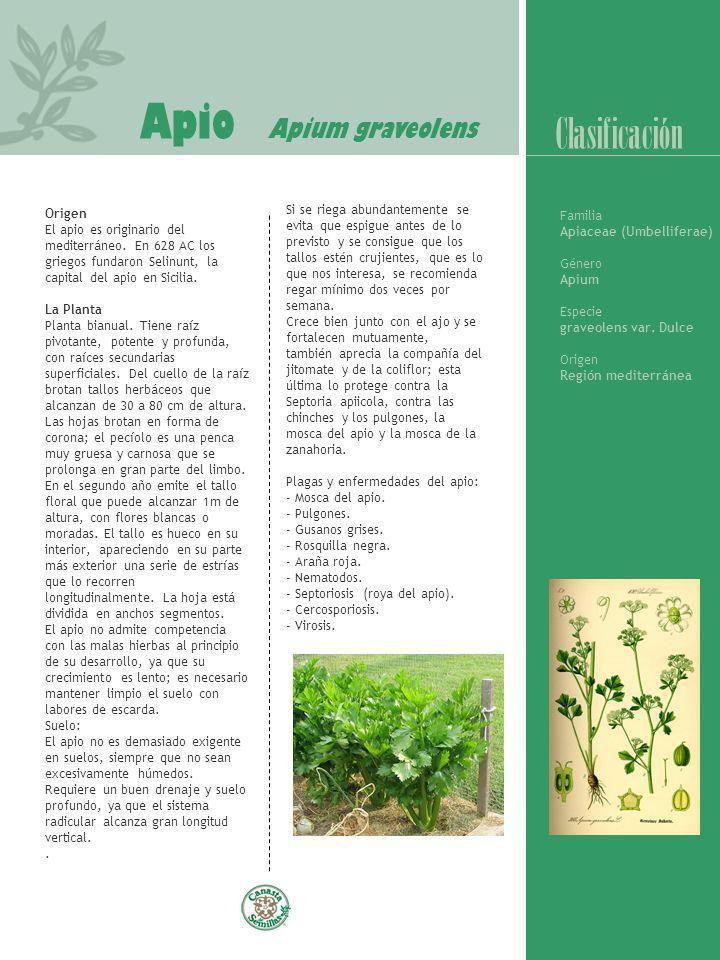 Apio Apium graveolens Clasificación