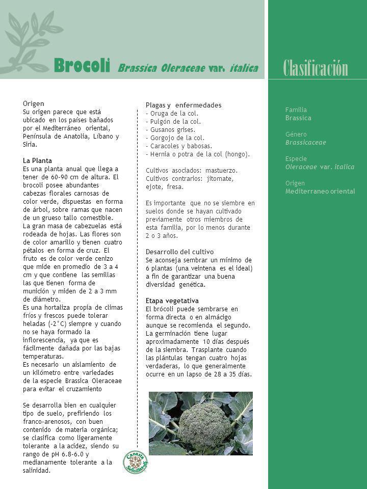 Clasificación Brocoli Brassica Oleraceae var. italica Origen