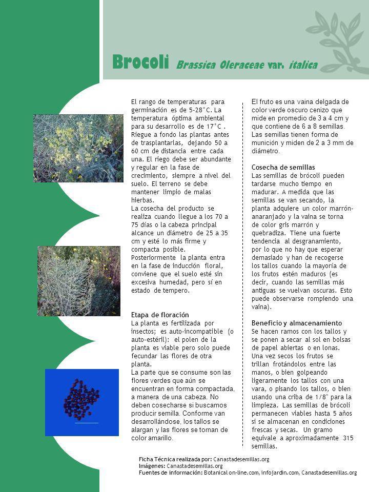 Brocoli Brassica Oleraceae var. italica