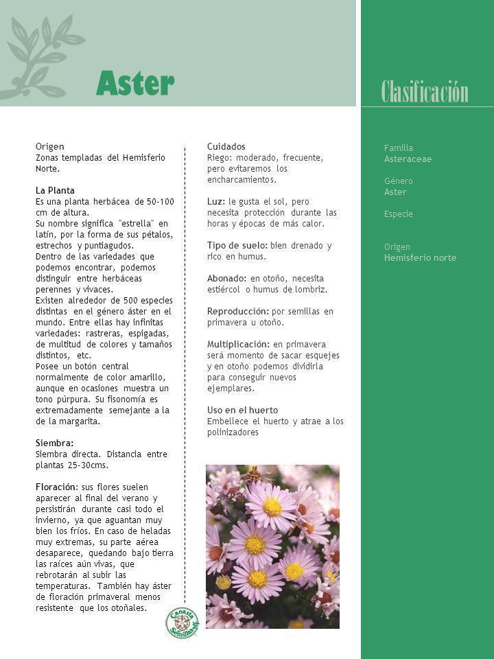 Aster Clasificación Origen Zonas templadas del Hemisferio Norte.