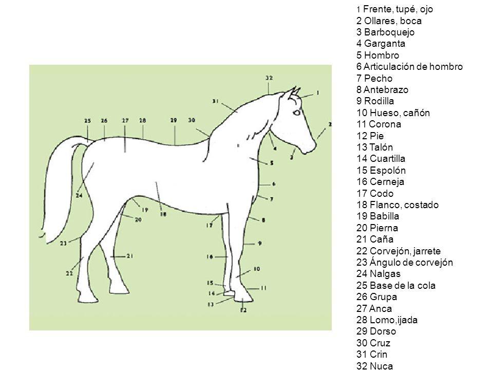 Excepcional Anatomía De La Rodilla Del Caballo Componente - Imágenes ...