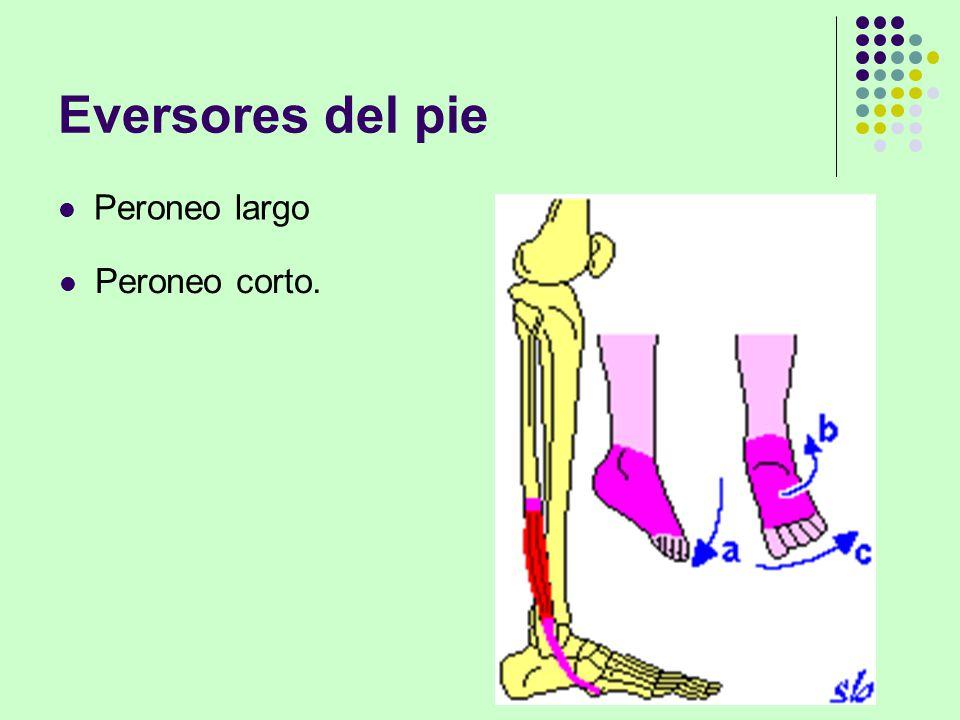 Perfecto Peroneo Largo Elaboración - Imágenes de Anatomía Humana ...