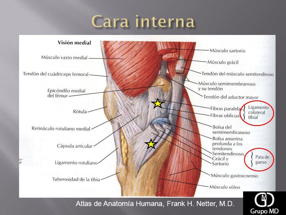 Excepcional Anatomía Humana Tendón Ornamento - Anatomía de Las ...