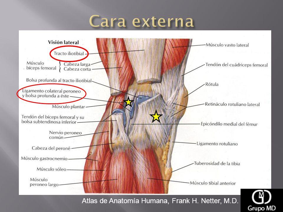 Vistoso Anatomía Pata De Oso Bosquejo - Anatomía de Las Imágenesdel ...
