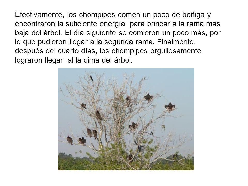 Efectivamente, los chompipes comen un poco de boñiga y encontraron la suficiente energía para brincar a la rama mas baja del árbol.