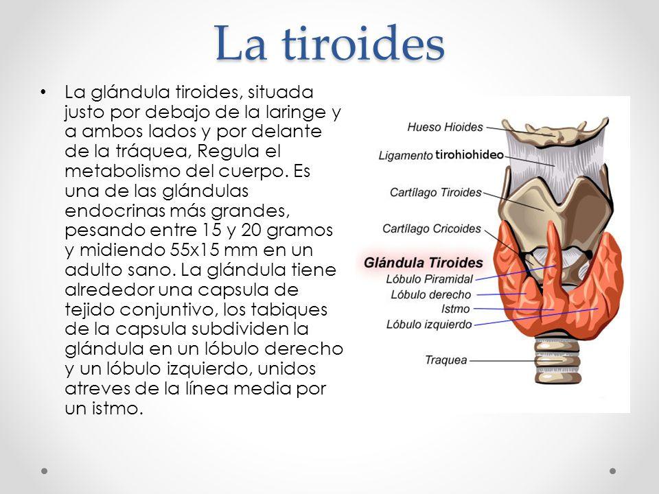 "Glándula Tiroides Anatomía y fisiología 5 ""C"" Farmacia - ppt descargar"