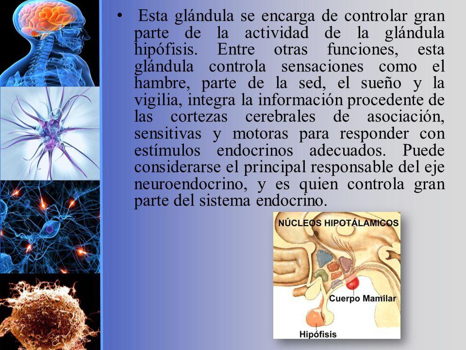 Esta glándula se encarga de controlar gran parte de la actividad de la glándula hipófisis.