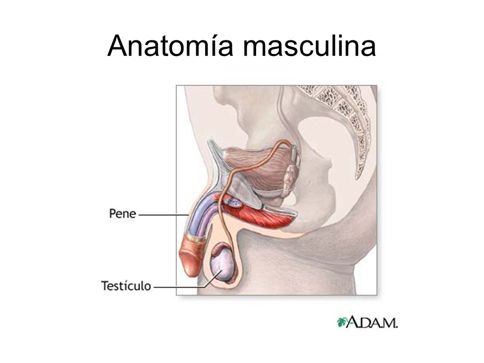 Lujo Diagrama De La Anatomía Sexual Masculina Modelo - Imágenes de ...