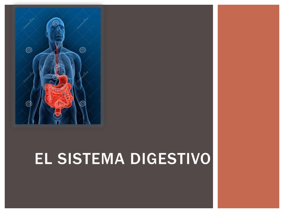 El sistema digestivo. - ppt video online descargar