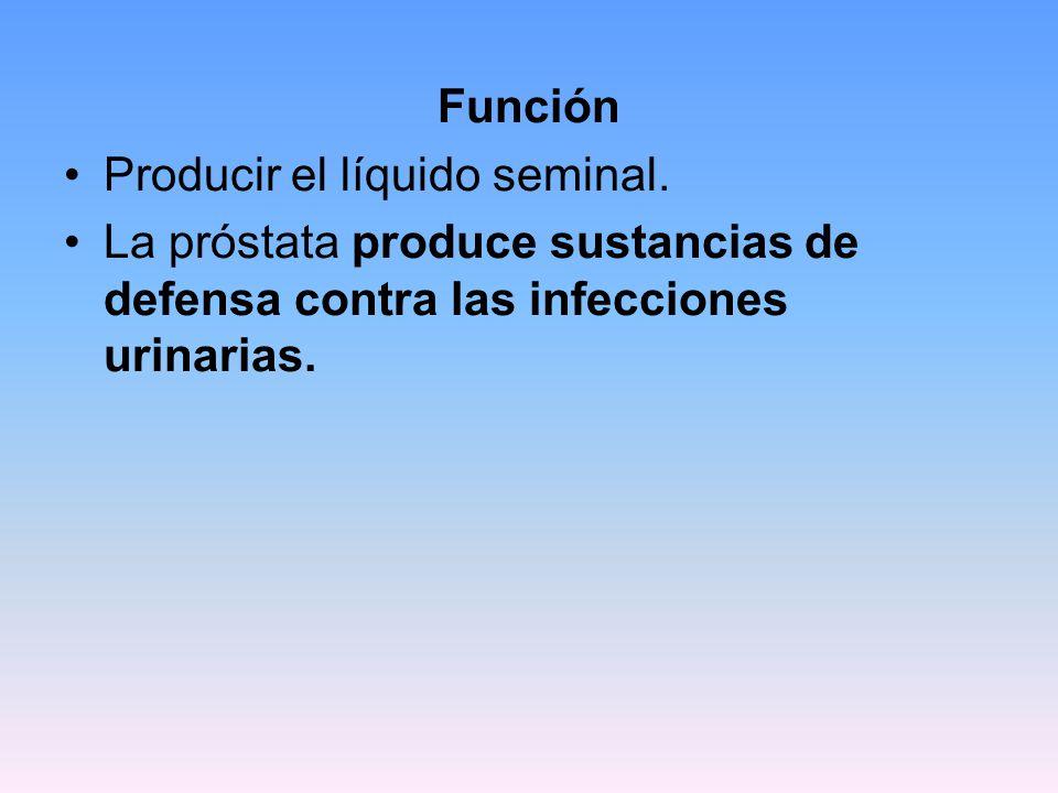 Función Producir el líquido seminal.