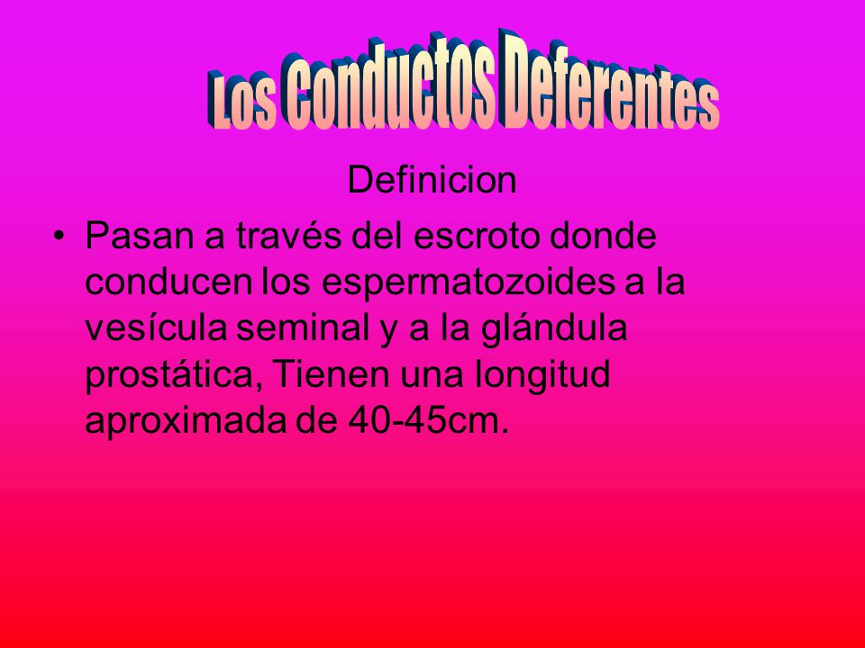 Los Conductos Deferentes