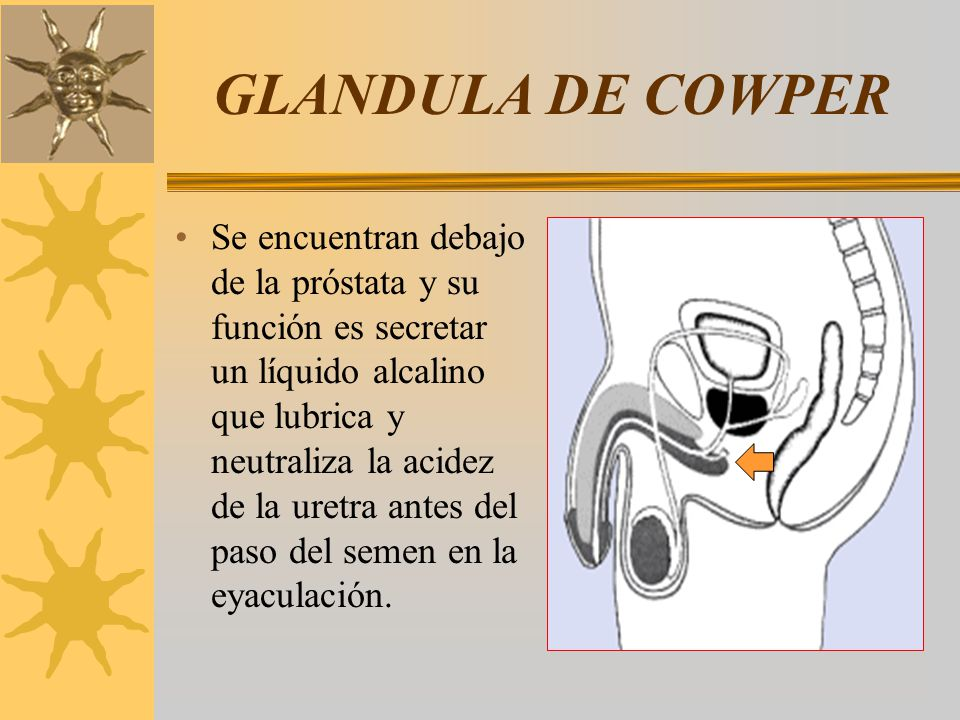 GLANDULA DE COWPER