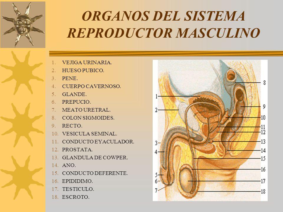 ORGANOS DEL SISTEMA REPRODUCTOR MASCULINO