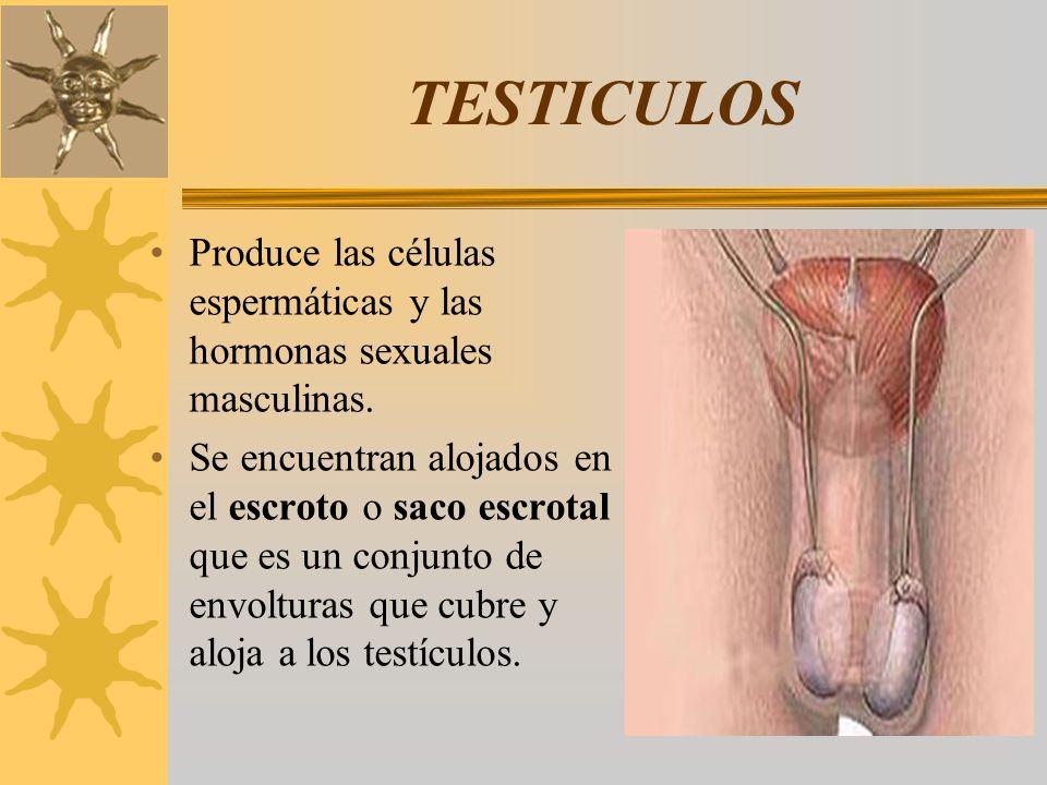 TESTICULOS Produce las células espermáticas y las hormonas sexuales masculinas.