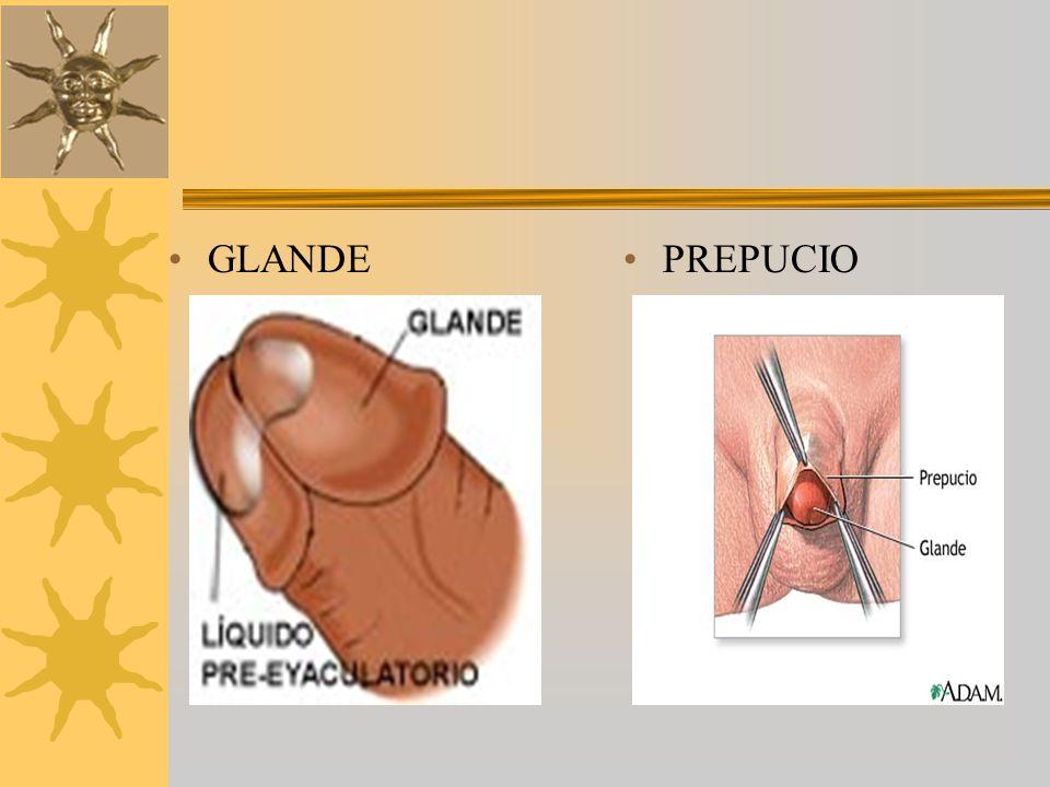 GLANDE PREPUCIO