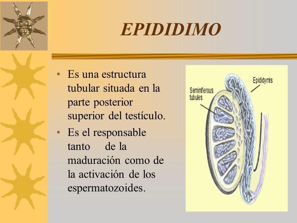 EPIDIDIMO Es una estructura tubular situada en la parte posterior superior del testículo.