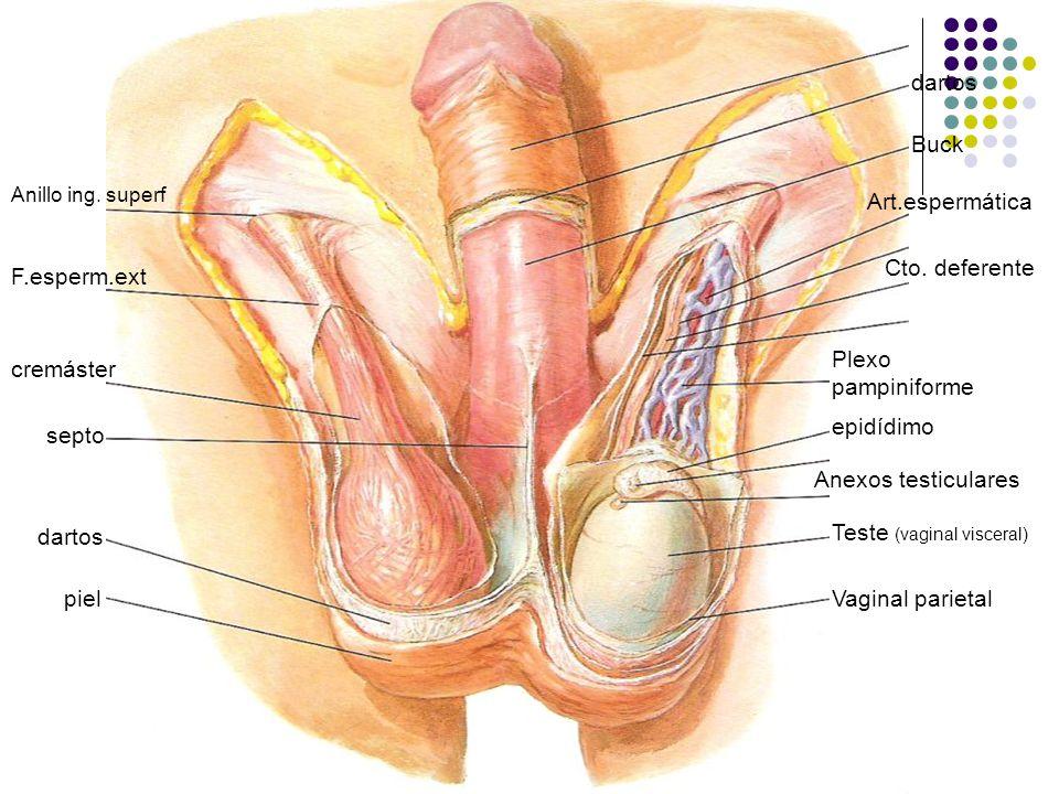 Perfecto Anatomía Del Vigina Elaboración - Imágenes de Anatomía ...