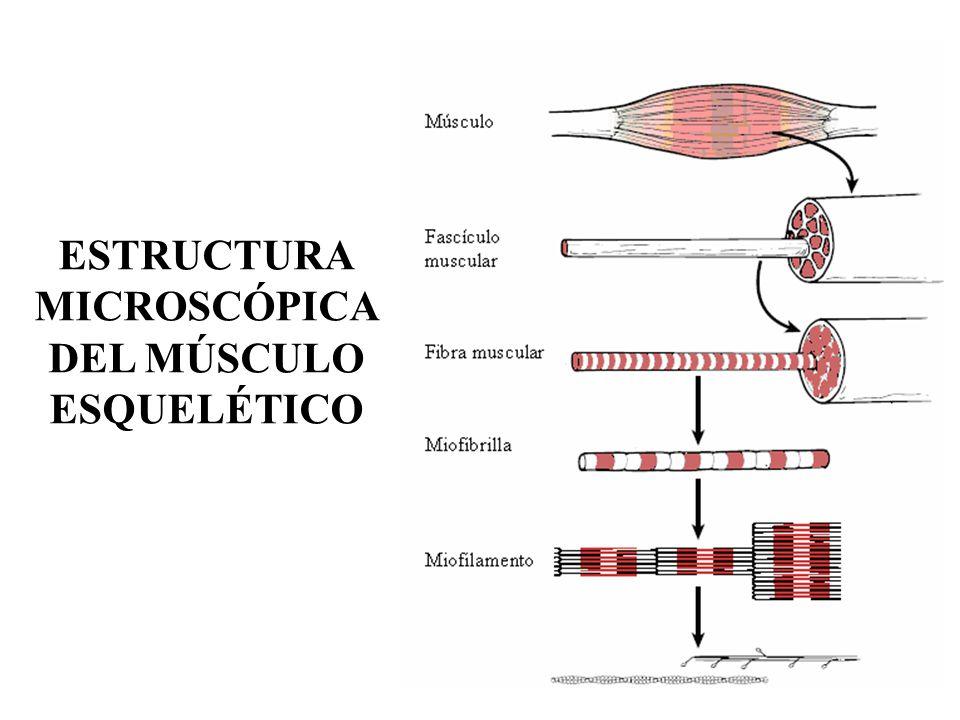 Dorable Anatomía Microscópica De Las Respuestas Del Músculo ...