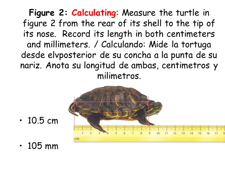 Figure 2: Calculating: Measure the turtle in figure 2 from the rear of its shell to the tip of its nose. Record its length in both centimeters and millimeters. / Calculando: Mide la tortuga desde elvposterior de su concha a la punta de su nariz. Anota su longitud de ambas, centimetros y milimetros.