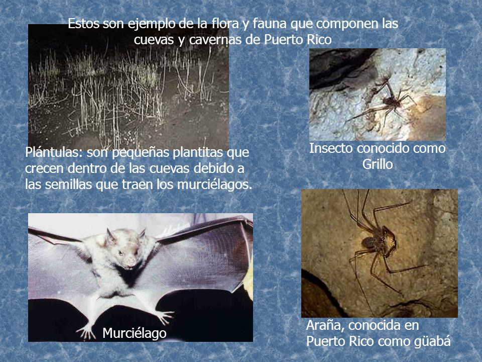 Insecto conocido como Grillo