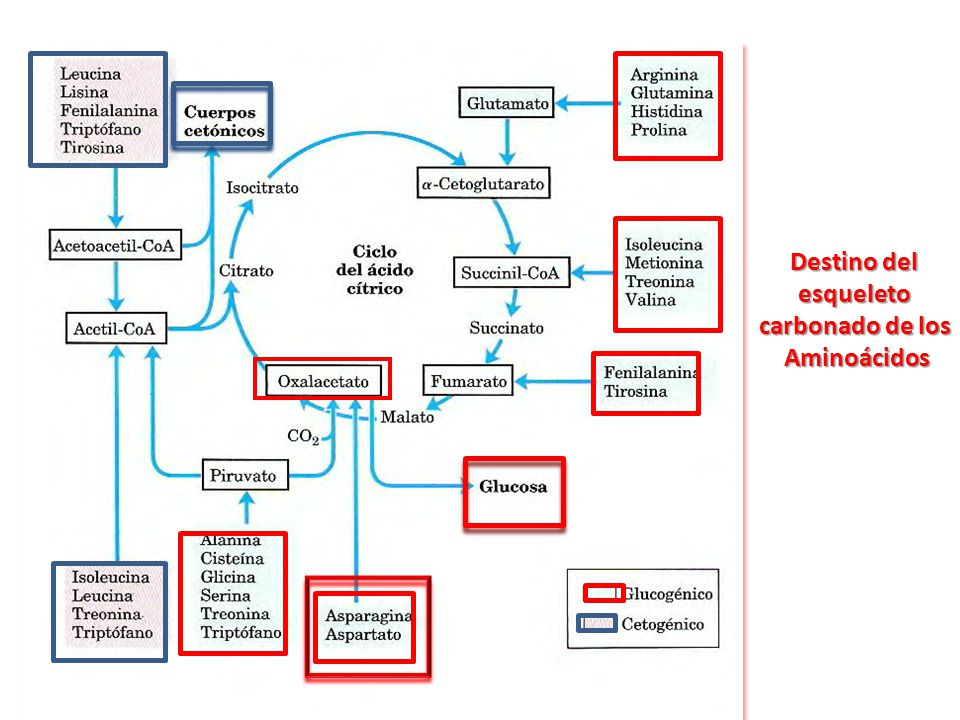 metabolismo de prote205nas y amino193cidos ppt descargar