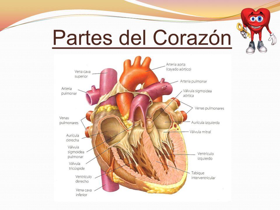 Fantástico Diferentes Partes Del Corazón Inspiración - Anatomía de ...