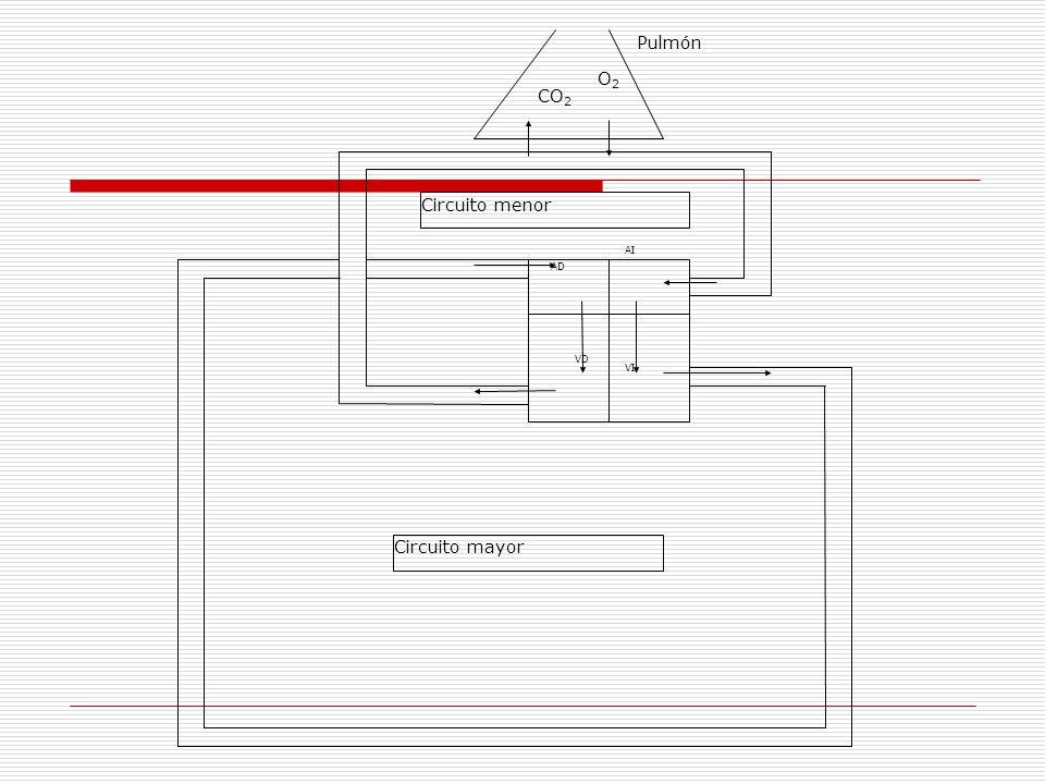 Circuito Mayor : Tema el sistema cardio respiratorio ppt descargar