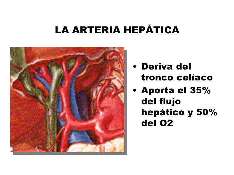 Perfecto Anatomía De La Arteria Hepática Inspiración - Anatomía de ...