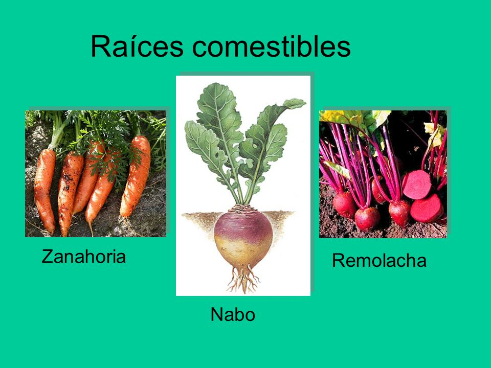 Unidad 1 las plantas 3 b sico a b ppt video online for Las raices chinas se cocinan