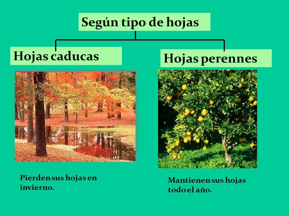 Unidad 1 las plantas 3 b sico a b ppt video online for Arboles de hoja caduca y perenne nombres