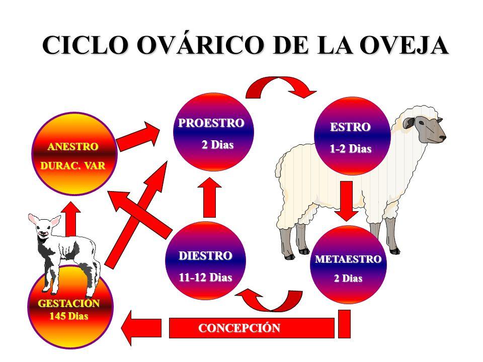Famoso Anatomía Reproductiva Ovejas Regalo - Imágenes de Anatomía ...
